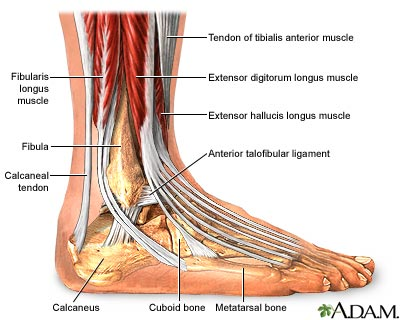 ADAM_ankle_19918_large